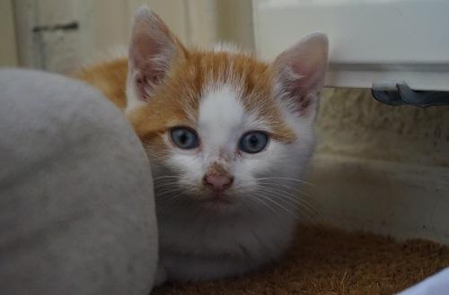 kittenspalleen