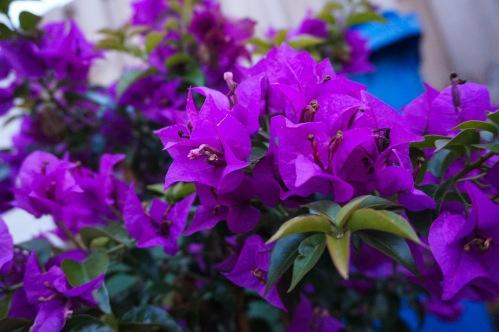 naturepaarsebloemen